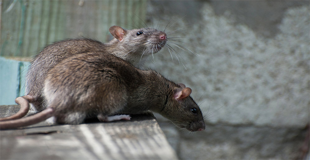 Two Rats in an Alley Way